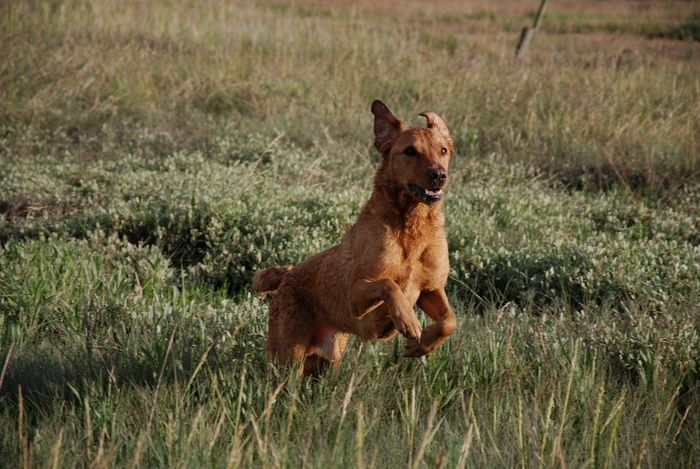 Grass Dog Animal Themes One Animal Mammal Field Pets Growth Domestic Animals No People Outdoors Nature Day Lab Labrador Retriever Fox Red Lab LabradorRetriever Labrador Red Lab Fetch