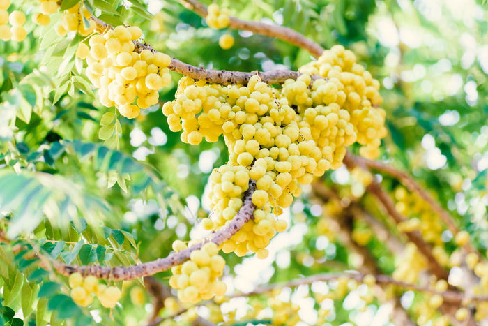 Tree Beauty In Nature Close-up Day Flower Focus On Foreground Food Food And Drink Fragility Freshness Fruit Green Color Growth Hanging Leaf Low Angle View Nature No People Outdoors Plant Ripe Fruit Star Gooseberry Thai Fruit Tree Yellow