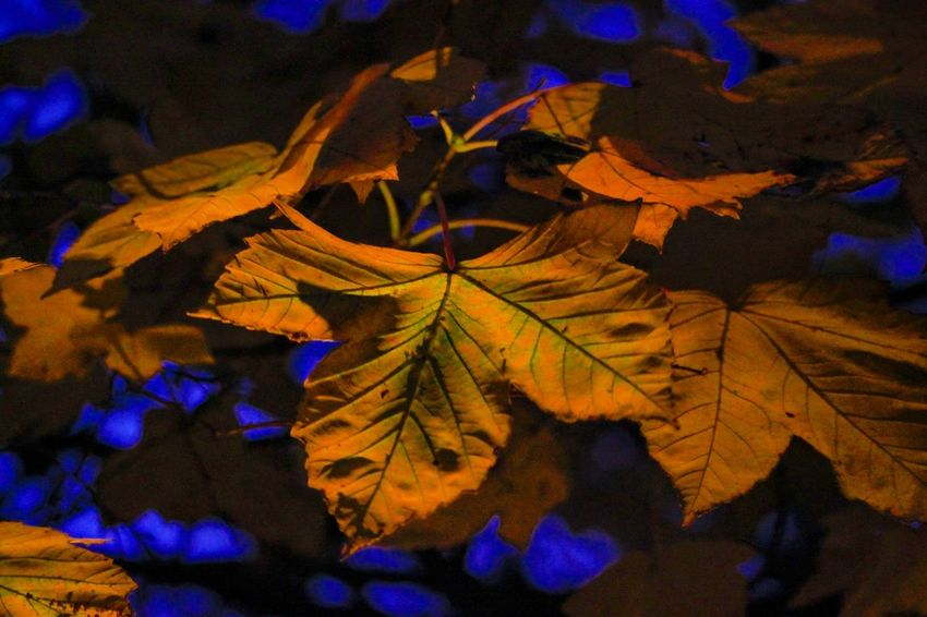 Leaves Leaf Autumn Illuminated Change Maple Leaf Multi Colored Close-up Fallen Leaves Autumn Collection Tranquility Calm Countryside Colored Natural Pattern Fall Plant Life