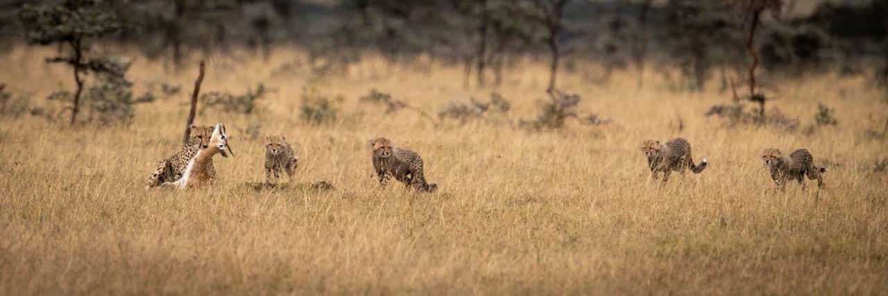 View of cheetahs hunting deer on field