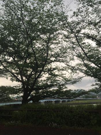 いつもの帰り道。アレルギーで飲み薬と塗り薬を。この時期はツライな。 EyeEm Nature Lover 桜の木 Osaka,Japan IPhoneography Nofilter Nature