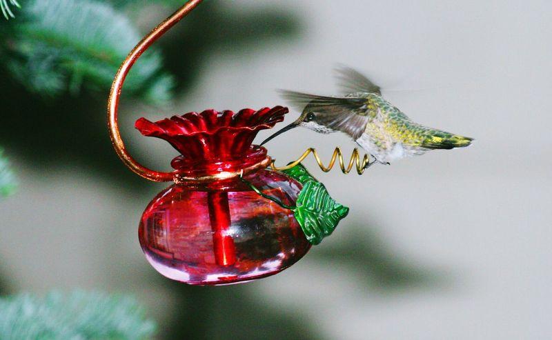 Hummingbird Hummingbird Avian Photography No People Close-up Red Indoors  Flower Day Nature