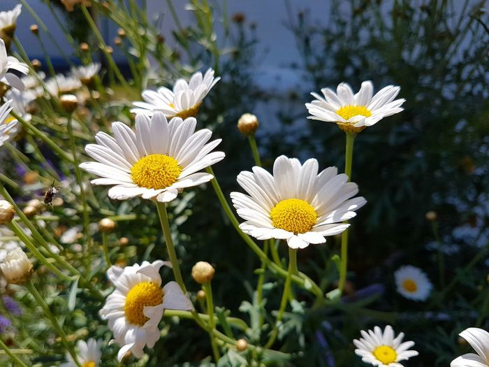 daisies in the sun... Daisies ♥  Outdoor Photography Outdoors Garden Photography Yellow White Flower Blooming Blooming Flower Flower Head Flower Yellow Petal Pollen White Color Close-up Animal Themes Plant In Bloom Pollination Stamen