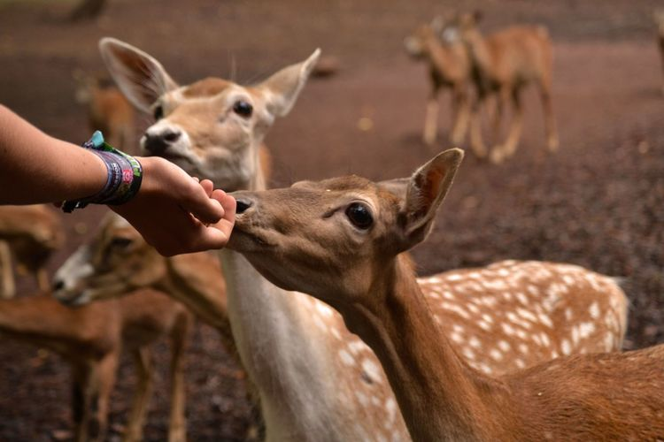 Cropped image of hand touching deer
