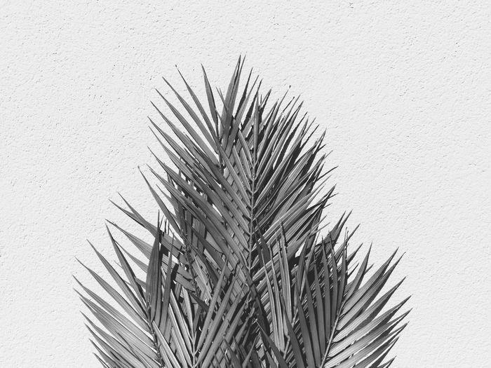 Close-up of palm tree against white wall