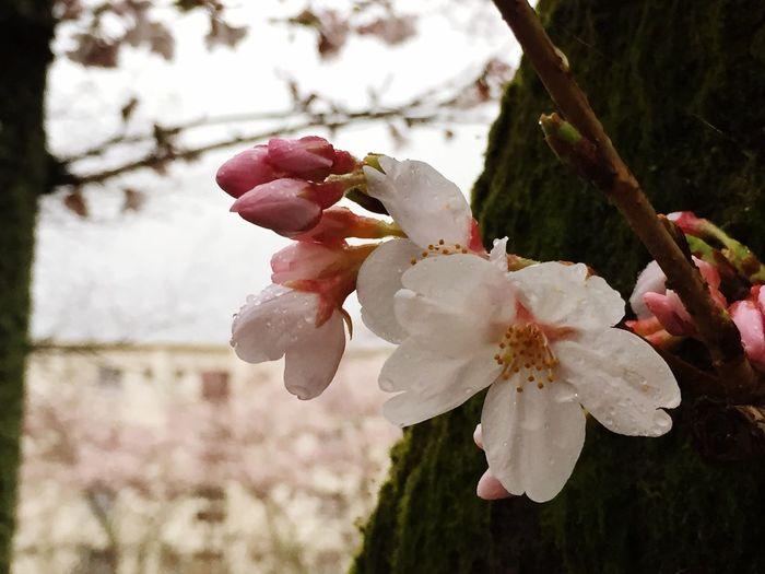 Cherry Blossoms Spring Flowers Rain