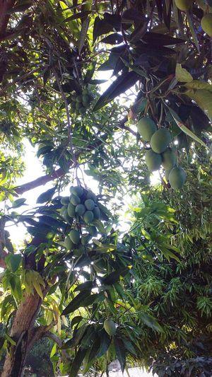 Mangos Fruta♥
