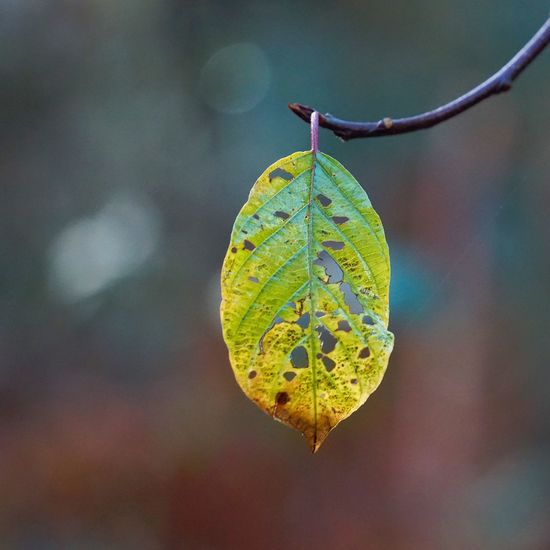 Close-up of eaten leaf on twig