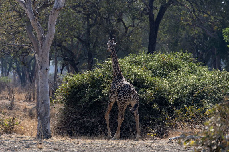 View of giraffe in a forest