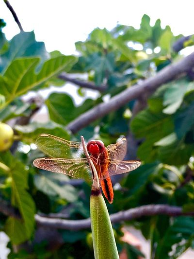 Red Dragonfly Effect Dragonfly Nature Insects Dragonfly Dragonfly Bodypart Dragonfly Wings Dragonfly On Plant Red Dragonfly On A Stem Red Dragonfly On A Small Branch. Red Dragonfly Dragonfly Lybelle Libellula Sylphs Sylphsia Sylphus Fly Sylph Plant Growth Close-up Leaf Beauty In Nature Plant Part Focus On Foreground A New Beginning