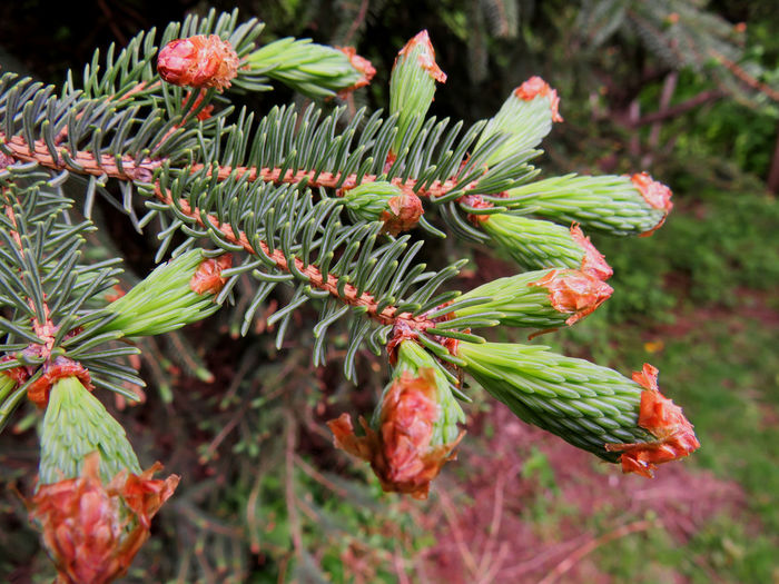 Close-up of a pine tree out growing Growth Plant Green Color Close-up Beauty In Nature Focus On Foreground Day Nature No People Flower Flowering Plant Freshness Leaf Plant Part Selective Focus Outdoors Vulnerability  Fragility Bud Red Pine Tree Coniferous Tree