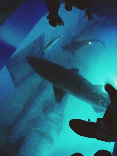 Swimming Shark Love Date