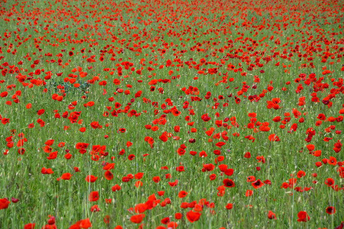 beautiful red poppies field Agriculture Farmer France Grass Poppy Fields Provence Army Day Blooming Coutryside Day Europe Flower Geen Growth Lanscape Nature Pastel Colors Photo Poppies  Red Seaon Spring Summer Wind EyeEmNewHere