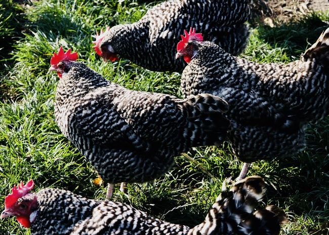 Barred Plymouth Rock Chicken on lush pasture Agriculture Barred Plymouth Rock Chicken Farm Field Pasture Red Animal Animal Themes Bird Caruncle Chicken - Bird Close-up Cockerel Countryside Day Domestic Animals Field Grass Hen Livestock Nature No People Outdoors Rooster Rural Scene