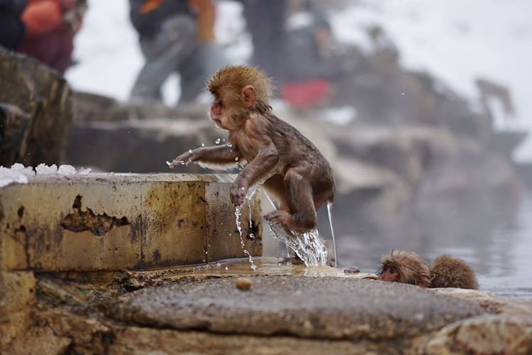 Funny Wet Japanese Macaque