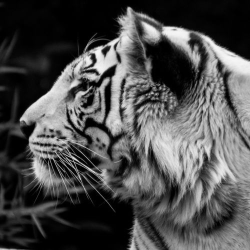 Animal Themes Animals In The Wild Close-up Day Feline Indoors  Mammal Nature No People One Animal Tiger Whisker