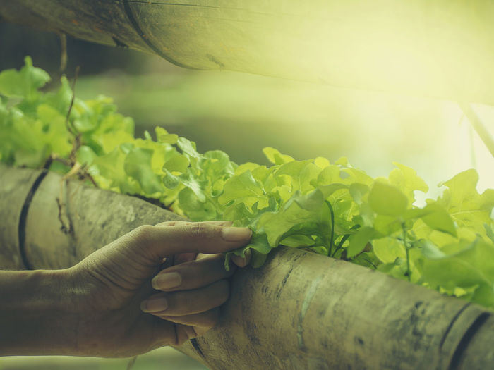 Growing vegetables And green leafy vegetables. It is a food for health lovers. Human Hand Hand Human Body Part Leaf Plant Part Plant Nature Growth Green Color Real People One Person Day Holding Unrecognizable Person Lifestyles Human Finger Close-up Touching Body Part Outdoors Finger Leaves Gardening Care