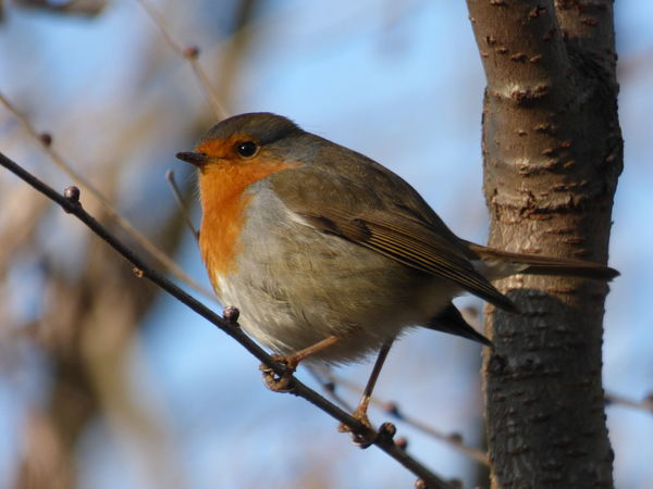 Animal Call Animal Themes Animal Wildlife Animals In The Wild Beauty In Nature Bird Close-up Day Nature No People One Animal Outdoors Perching Robin Sparrow