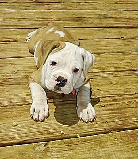 Pets Dog Wood - Material Looking At Camera Mammal Domestic Animals Portrait One Animal High Angle View English Bulldog Animal Themes Lying Down No People Outdoors Day Cute Cute Puppy Adorable Puppy Pet Mans Best Friend Dog Lover Animal Furfamily Wrinkles