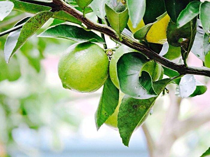Lemon tree São Roque De Minas Check This Out Spring Into Spring Nature Fruits Green Green Green!  Weekend Nofilter