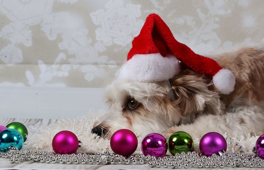 little havanese is lying in the studio with christmas decoration Christmas Balls Hat Studio Xmas Animal Themes Celebration Celebration Event Christmas Christmas Decoration Christmas Lights Christmas Ornament Close-up Decoration Domestic Animals Havanese Havaneser Indoors  Lametta Mammal Multi Colored One Animal Pets Portrait Santa Hat Tradition
