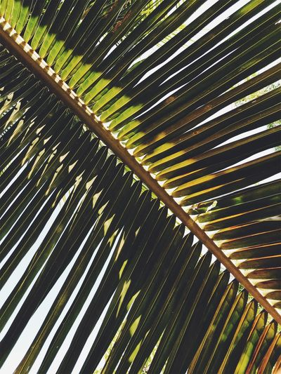 Backgrounds Beauty In Nature Day Frond Full Frame Green Color Growth Leaf Leaves Low Angle View Natural Pattern Nature No People Outdoors Palm Leaf Palm Tree Pattern Plant Plant Part Tree Tropical Climate