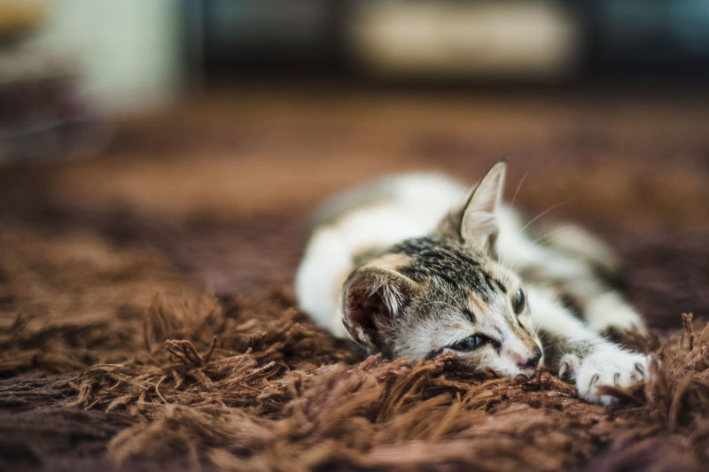 Animals Carpet Cats Furry Hairy  Kitten Looking Mammals Pets Resting Selective Focus Sleepy Whiskas Whisker
