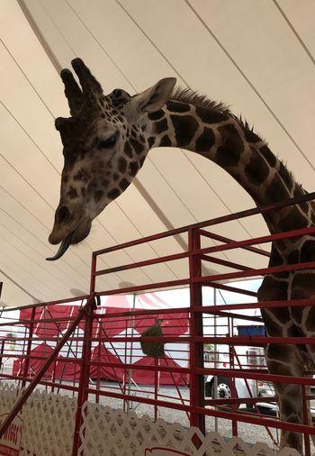 Giraffe, beautiful, majestic, tongue, hungry, mammal, Animal Themes day at the fair