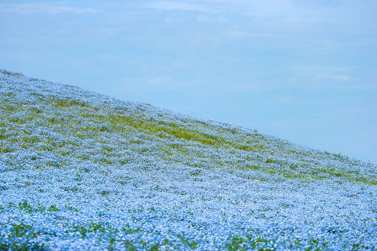 Area ASIA Background Beautiful Beauty Bloom Blooming Blossom Blue Bouquet Color Day Famous Farm Field Flora Floral Flower Garden Green Hill Hitachi Hitachinaka Ibaraki Japan Landscape Life Light Natural Nature Nemophila Outdoor Park Place Plant Rural Seaside Season  Sightseeing Sky Space Spring Stem Summer Tourism Tourist Travel View White Yard