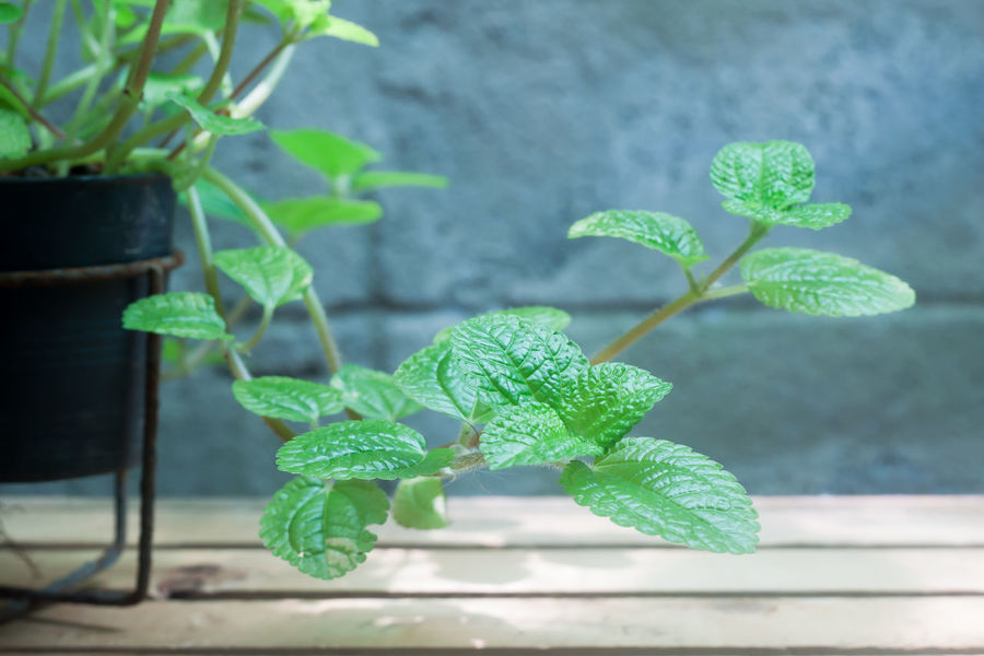 Close up growing peppermint plant Green Aroma Aromatic Beauty In Nature Botanical Garden Botany Close-up Day Freshness Garden Green Color Growth Houseplant Leaf Leaves Nature No People Outdoors Peppermint Plant Plant Plant Part Potted Plant