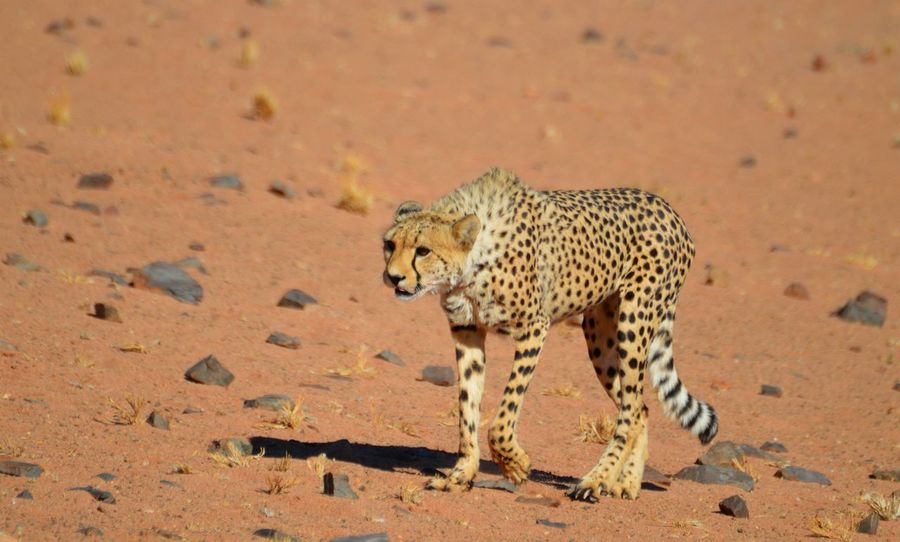 Approach Desert Namibia Landscape Namib Desert Wildlife & Nature Wildlife Photography Bigcatphotography Animals In The Wild Animal One Animal Animal Wildlife Spotted Animals Hunting Cheetah Nature Animal Themes Beauty In Nature Outdoors Sand