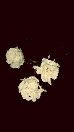 Roseporn Midnight In The Garden Of Good And Evil Flowerporn EyeEm Gallery EyeEm Nature Lover White Rose