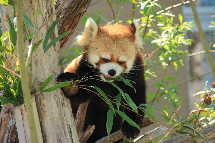 Zoo Panda -