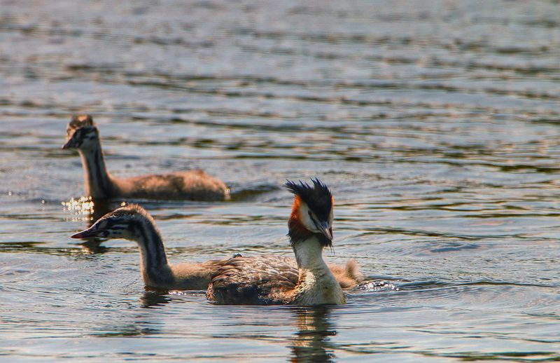 Great Crested Grebe Birds Swimming In Lake