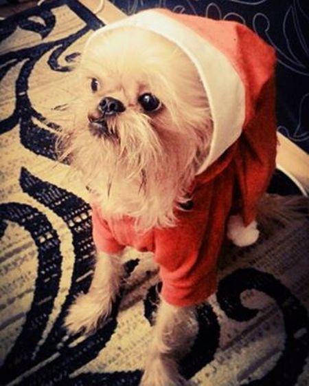 Чипс TheГном Merrychristmasdog Lovelygriffon Brusselsgriffon Griffon Dog Newyeardog NewYear Lilgnome Thegnome
