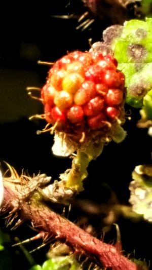 Black Berry Dew Berry Red Berry Wild Berries Micro Nature Micro Photography Macro Beauty Outdoor Photography Macro Nature Photography Showcase April