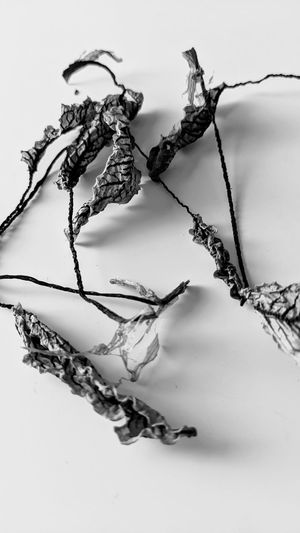 Close-up of dead plant against white background