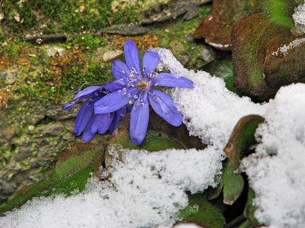 Transylvania Beauty In Nature Close-up Cold Temperature Day Flower Flower Head Flowers Fragility Freshness Frozen Green Color Growth High Angle View Leaf Nature No People Outdoors Plant Purple Snow Water Winter