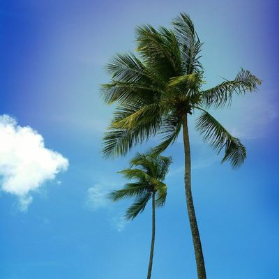 Low Angle View Palm Tree Sky Blue Tree