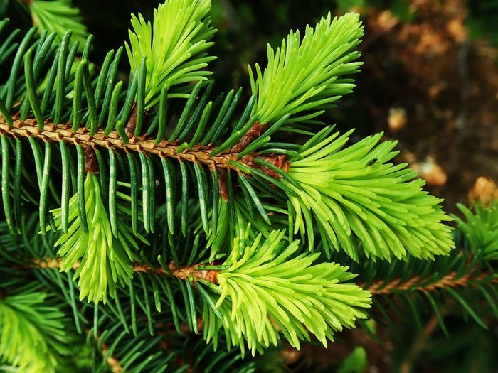Growth Plant Green Color Beauty In Nature Leaf Nature Plant Part Focus On Foreground Outdoors Coniferous Tree Tree Selective Focus