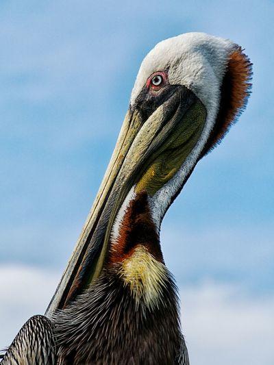 Close-up of pelican preening against sky