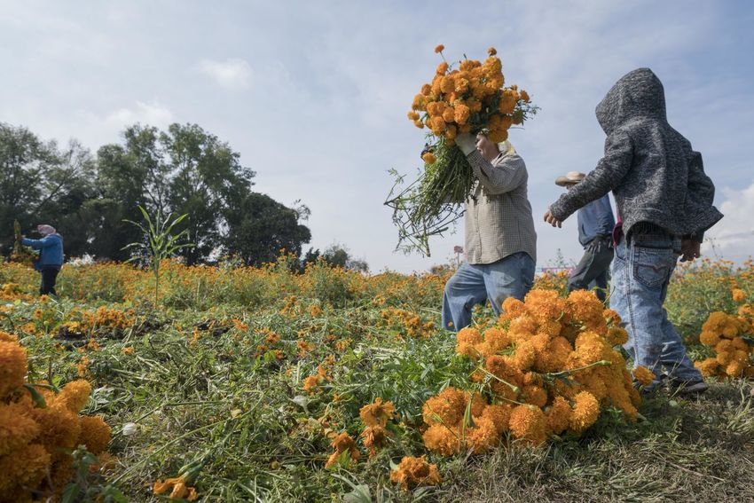 A group of farmers harvest the flowers of Marigold (Tagetes Erecta) sown in a large area on the edge of a highway. The sowing of these flowers begins at the end of June and they are cut in the last days of October. Plant Nature Two People Real People Tree Women Day Growth Full Length Sky Leisure Activity Autumn Adult Flowering Plant Men Flower Land Field People Lifestyles Outdoors Warm Clothing Change Marigold Tagetes Erecta
