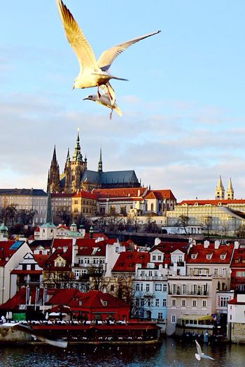 Architecture Building Exterior Flying Bird Animals In The Wild Seagull Outdoors No People City Life Town Tourism Czech Republic Prague Sky