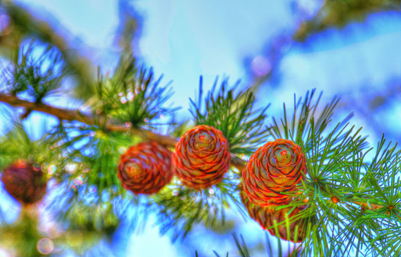 Green Bokeh Lights Blurred Motion Blurred Background Colorsplash Sky And Clouds Pine Pine Tree Cone