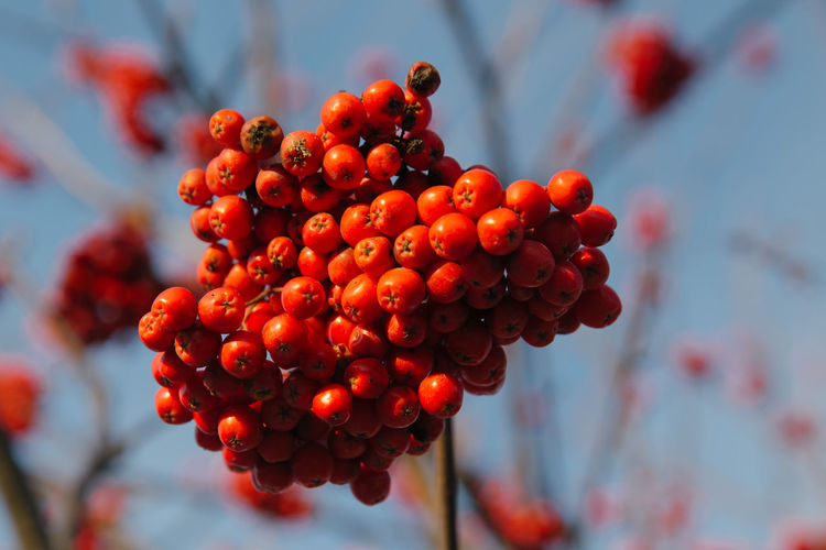 A bunch of ripe Mountain-ash berries on blue sky background Autumn Berries Natural Red Rowan Sunny Blue Close-up Focus On Foreground Food Food And Drink Fresh Freshness Fruit Garden Growth Healthy Eating Mountain Ash Nature Outdoors Red Ripe Rowanberry Seasonal Sky