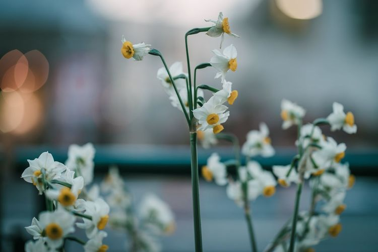 Flowering Plant Flower Plant Beauty In Nature Vulnerability  Freshness Growth Inflorescence Selective Focus Flower Head Nature Outdoors White Color No People Petal Plant Stem Fragility Close-up Focus On Foreground Day