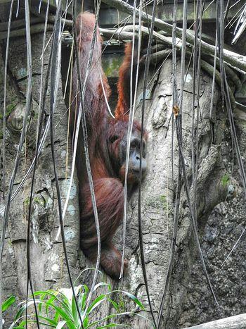 EyeEm Best Shots Orangutan Orangutans Primate Eyemphotos EyeEmBestPics Singapore Zoo Eyeemphotography Save Orangutan EyeEm Best Shots - Nature