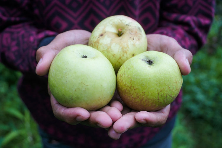 Harvest apple Type Rome Beauty Food Healthy Eating One Person Food And Drink Fruit Hand Human Hand Holding Human Body Part Midsection Freshness Wellbeing Apple - Fruit Focus On Foreground Close-up Front View Day Organic Real People Hands Cupped Ripe Human Limb Batu Apple