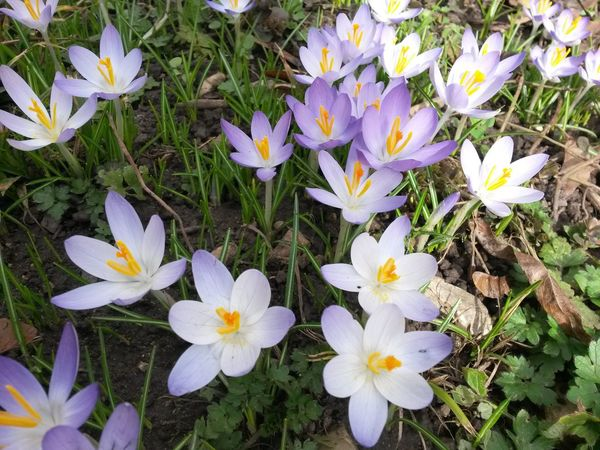 Flower Fragility Nature Beauty In Nature Petal Growth Freshness White Color Flower Head Plant Blooming Day Outdoors No People Pollen Close-up Crocus Early Spring Flowers Early Spring