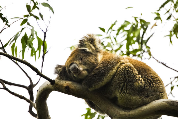 Pet Portraits Animal Themes Animal Wildlife Animals In The Wild Branch Close-up Day Full Length Koala Koala In Tree Leaf Low Angle View Mammal Nature No People One Animal Outdoors Sitting Sky Tree